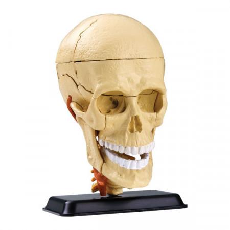 Набор EDU-TOYS SK010 Анатомический набор (голова)